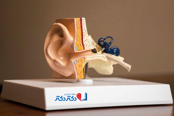 ساختار گوش انسان